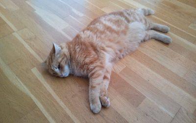 Recherche famille d'accueil pour ce chat roux